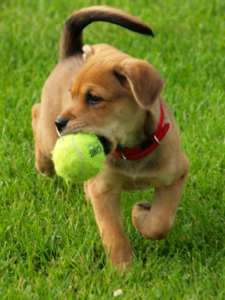 Puppy-with-ball-in-grass-we